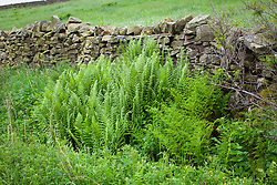 Male fern (rear) and Broad Buckler-fern (front) growing by a dry stone wall in Yorkshire. Dryopteris filix mas and Dryopteris dilitata