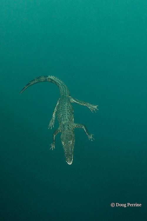 Morelet's crocodile, Central American crocodile, or Belize crocodile, Crocodylus moreletii,  floating underwater in cenote, or freshwater spring, near Tulum, Yucatan Peninsula, Mexico