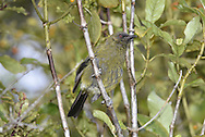 Bellbird - Anthornis melanura