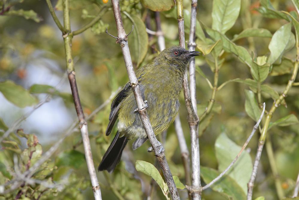 Bellbird - Anthornis melanura