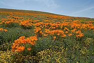 Lancaster Poppy Preserve, Antelope Valley, California