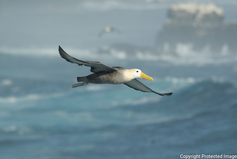 Albatross in Flight, Galapagos islands, Ecuador