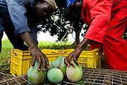Workers pack mangoes in plastic crates at Domescho farms in Somanya, Ghana on Wednesday June 17, 2009.