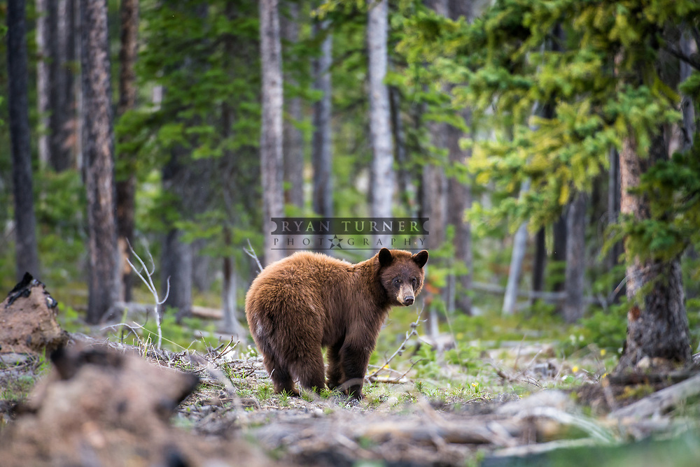 A cinnamon colored black bear in the woods in Montana.  Limited Edition - 75