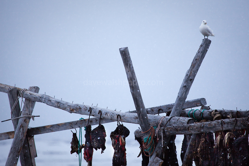 Ivory gull, pagophila eburnea, perched above a rack of dried seal meat at the dog yard, Ny-Alesund, Spitsbergen, Svalbard, Norway. Populations are currently in decline throughout the Arctic, possibly because of decreasing sea ice, and the PCBs and DDE found in the food they eat, for instance seal carrion from polar bear kills.