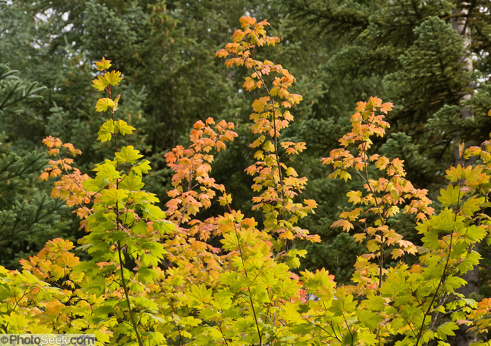 Vine Maple (Acer circinatum) leaves turn yellow gold in late summer and autumn. Photographed on the Mount Defiance Trail, Interstate 90, Washington, USA.
