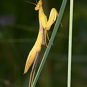 Hierodula sp. nymph. Hierodula is a genus of praying mantises found throughout Asia. Many species are referred to by the common name giant Asian mantis because of their large size.