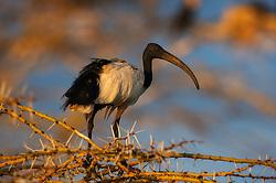 African sacred Ibis (Threskiornis aethiopicus) in Lake Naivasha, Kenya