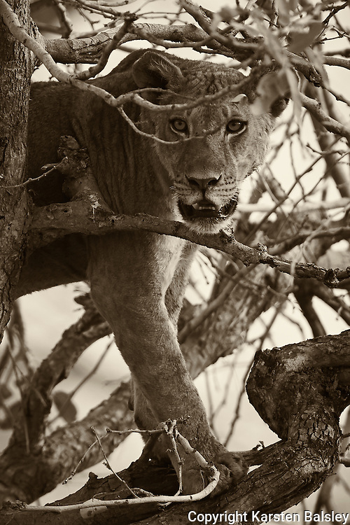 &ldquo;Watchful Eyes&rdquo;                                  Zimbabwe<br /> &ldquo;Don&rsquo;t forget to look up, Yes, there are lions in the trees,&rdquo; my friend said. They rest in the trees to escape the heat and find a hint of a breeze.  They also find relief from the Tsetse flies.  In the trees is exactly where we found this young male lion. He watched us as we packed up our gear. When he was satisfied we were leaving, he silently dropped from the tree and walked into the Bush.