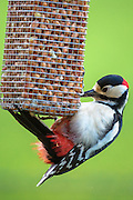 Lesser Spotted Woodpecker, Dendrocopus minor, feeding on peanuts from birdfeeder and clinging on with claws, UK
