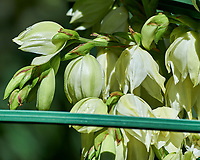 Yucca Flowers. Image taken with a Nikon Df camera and 80-400 mm VR II lens.