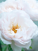 Rosa 'The Generous Gardener' - English Rose by David Austin