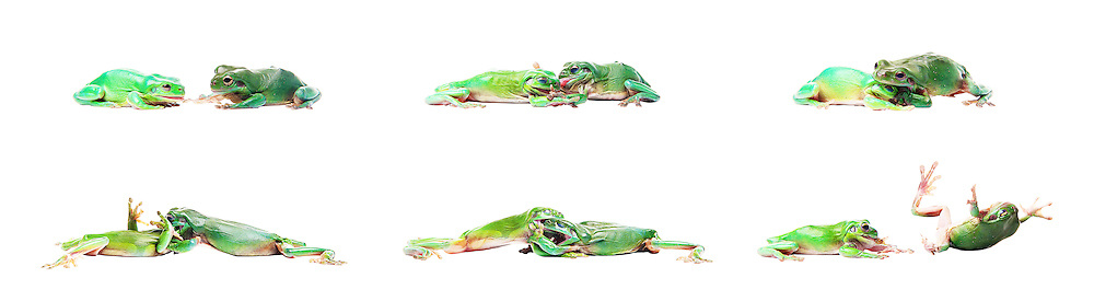 A sequence of two Australian Green Tree Frogs fighting over a cricket.<br />