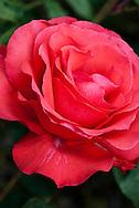 Rose Wetteriana