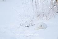 01863-01314 Arctic Fox (Alopex lagopus) in snow Chuchill Wildlife Mangaement Area, Churchill, MB Canada