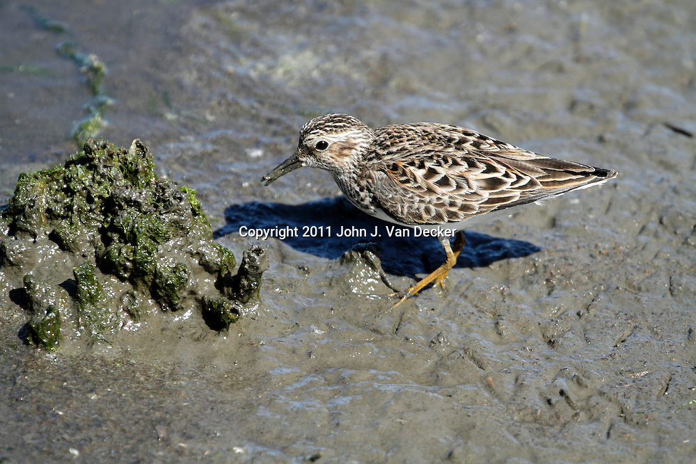 A Least Sandpiper, Caladris minutilla, foraging in the mud at the water's edge of a saltmarsh. New Jersey Meadowlands, Richard DeKorte Park, Lyndhurst, New Jersey, USA.