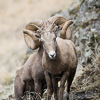 world record rocky mountain bighorn ram, record ram from montana