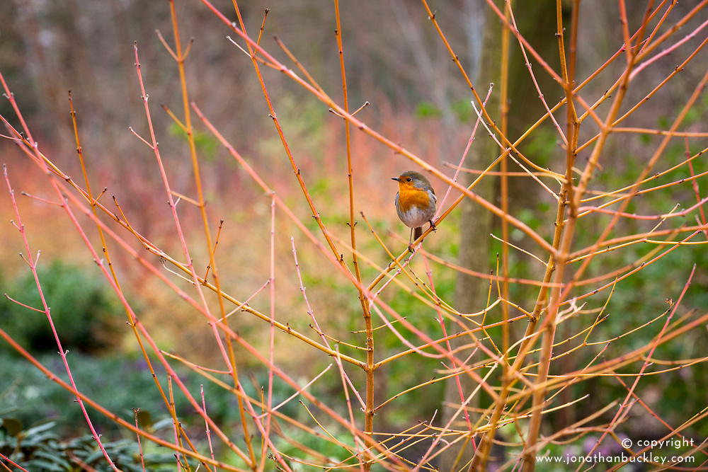Robin on the coloured winter stems of Cornus sanguinea 'Midwinter Fire' in the Winter Garden at Dunham Massey