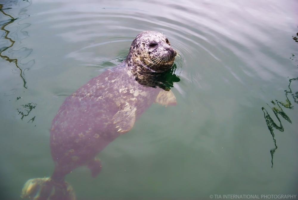Harbour Seal, Victoria, British Columbia, Canada