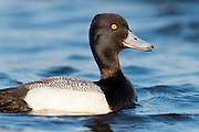 Lesser Scaup, Aythya affinis, male, Harsen's Island, Michigan