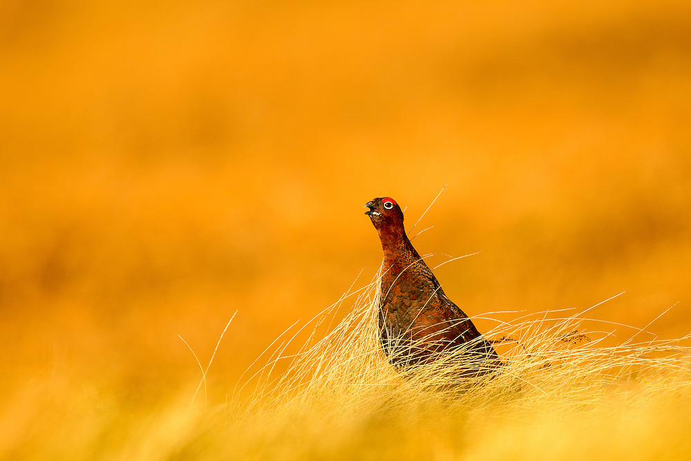 Red grouse (Lagopus lagopus scotica) sitting in long grass calling in evening light, Peak District, UK