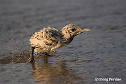 doused crested tern chick, Sterna or Thalasseus bergii, tries to regain the shoreline before being washed out to sea by another wave, Turu Cay, Torres Strait, Queensland, Australia