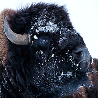 Bison in the snow, Yellowstone National Park.
