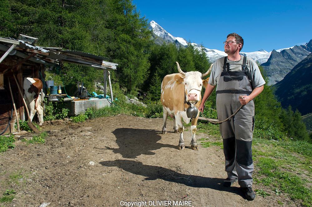 Nicolas Gaudin, agriculteur &agrave; La Forclaz, pr&egrave;s d'Evol&egrave;ne dans son &eacute;table aux alpages au dessus du village le 11 aout 2011. Dans quelques ann&eacute;es, comme la moiti&eacute; des exploitants suisses, il renoncera &agrave; l'estivage du b&eacute;tail. Ce ph&eacute;nom&egrave;ne entra&icirc;nera l'abandon de nombreux p&acirc;turages d'estivage qui deviendront des for&ecirc;ts. PAYSANS VALAIS SUISSE VACHE FROMAGE. <br /> VAL D'HERENS<br /> (PHOTO-GENIC.CH/ OLIVIER MAIRE)