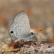 Prosotas dubiosa lumpura (Tailless Line-Blue) butterfly at Chaloem Phrakiat Thai Prachan National Park, Thailand.