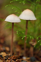 Mushrooms, Wu Ying District Nature Reserve, near Yichun city, Heilongjiang Province, China