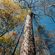 Bald Cypress, Francis Beidler  Forest, Harleyville South Carolina