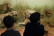 Two boy fascinated by a scene of  fighting  stuffed animals in the Africa Museum