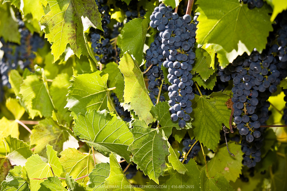 Baco Noir grapes on the vine.