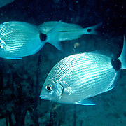Spotail Pinfish inhabit seagrass beds, inshore reefs and areas of rocky rubble in Florida and north to Virgina; picture taken Hollywood, FL.