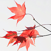 Red Leaves on Japanese Maple tree