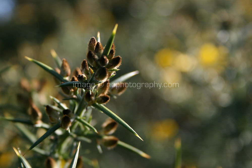 Close up gorse plant buds in Dublin Ireland