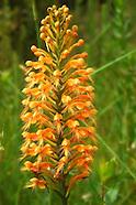 Orchideae