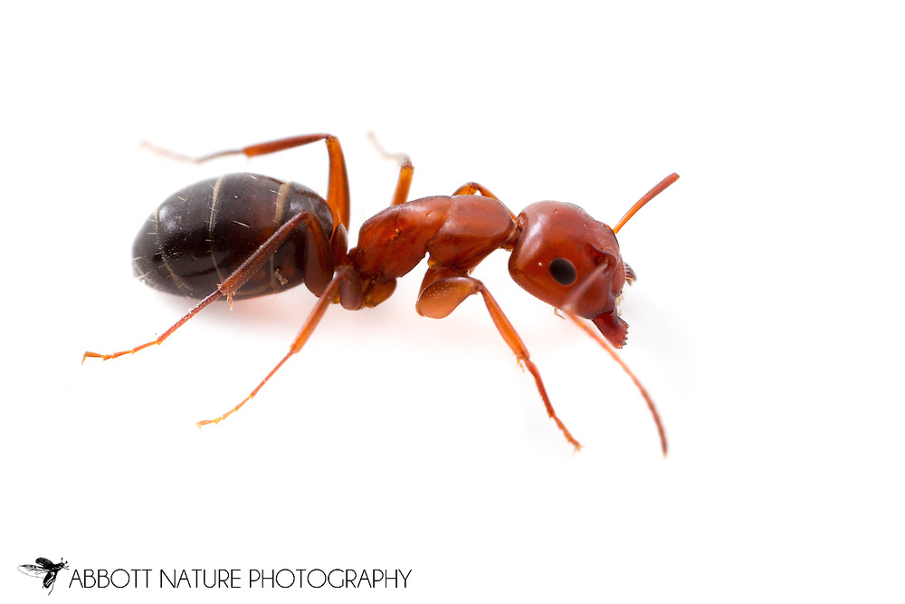 Carpenter Ant (Camponotus sayi)<br /> TEXAS: Bexar/Guadalupe County line<br /> rural property on Cibolo Creek<br /> 29.45749&deg; -98.12862&deg;<br /> 4-Aug-2013<br /> J.C. Abbott &amp; K.K. Abbott