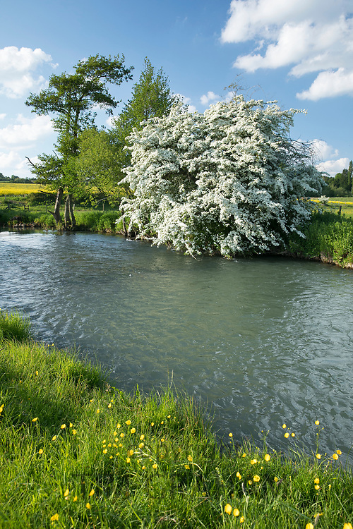 Common Hawthorn bush in blossom and The River Windrush in late Spring / early Summer at Burford in the Oxfordshire Cotswolds, UK