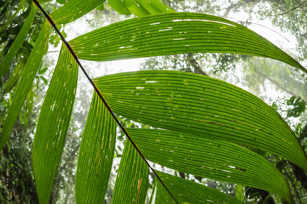 Cloud forest view from the underside of a palm frond in the Chocó region of Northwestern Ecuador. April.