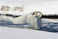 Trumpeter Swan spreading wings