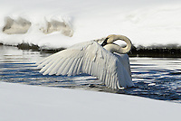 Trumpeter Swan spreading wings