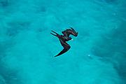 Lesser frigatebird (Fregata ariel) in flight against blue sky on Aride, Island, Seychelles in October