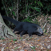 The binturong (Arctictis binturong), also known as bearcat, is a viverrid native to South and Southeast Asia. <br /> <br /> <br /> <br /> Although called 'bearcat', this omnivorous mammal is neither related to bears nor cats but to the palm civets of Asia. It is a monotypic genus.