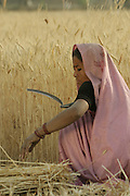 IND.MWdrv04.014.x..Mishri Yadav harvests wheat in Ahraura Village, Uttar Pradesh, India. Her family must pay half of the harvest to the owner of the land that they farm. They grow one planting of wheat and then rice during the rest of the year. Revisit with the family, 2004. The Yadavs were India's participants in Material World: A Global Family Portrait, 1994 (pages: 64-65), for which they took all of their possessions out of their house for a family-and-possessions-portrait..