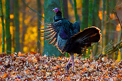 14 November 2009: A small group of wild turkeys are spotted near Dawson Lake at Moraine View State Park near LeRoy Illinois in McLean County. (Photo by Alan Look)