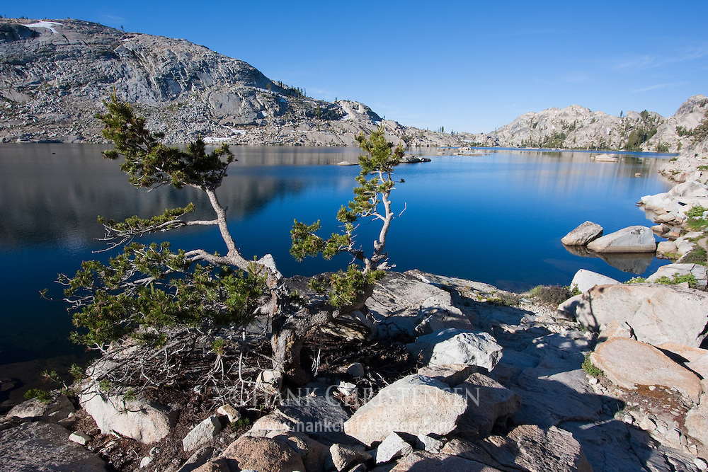 Gnarled pine tree overlooks Emigrant Lake, Emigrant Wilderness, California