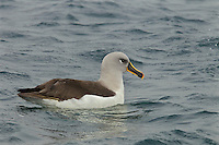 Grey-headed Albatross (Thalassarche chrysostoma) resting on the water.<br />