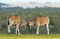 Young eland bulls sparring, De Hoop Nature Reserve, Western Cape, South Africa