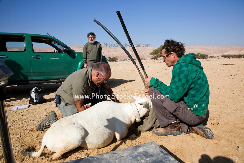 Arabian oryx (Oryx leucoryx) Being reintroduced back to its natural habitat. Photographed in the Arava desert, Israel